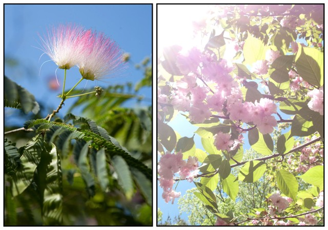 East Hampton, NY (mimosa) and Stone Ridge, NY (Kwanzan cherry)