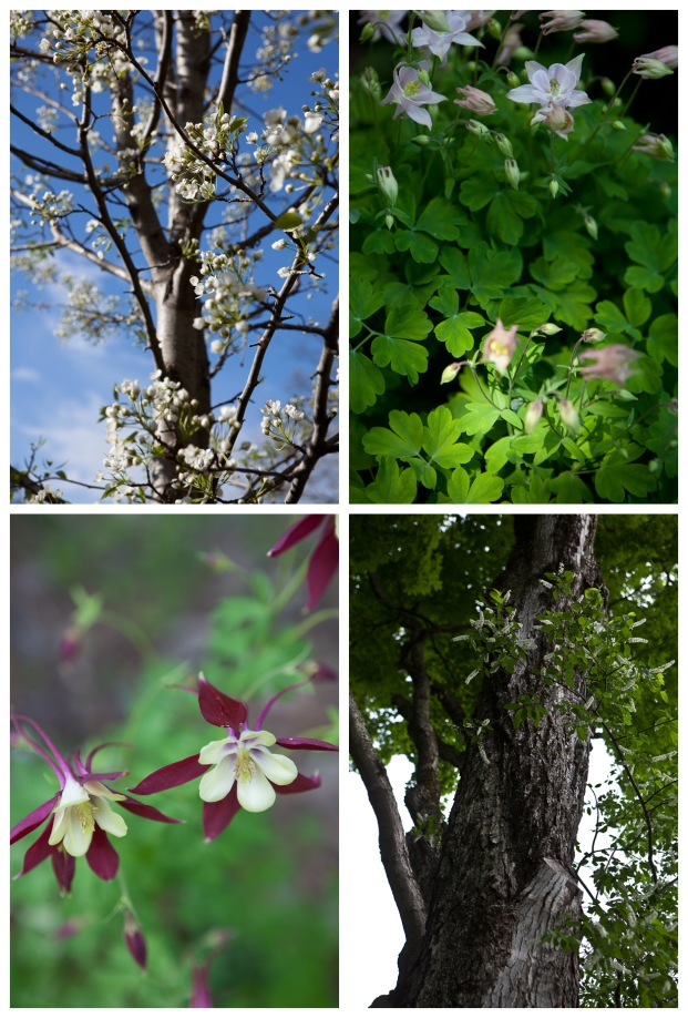 Clockwise from top leftL aristocrat pear tree, columbine, wild cherry tree (in front of a maple), columbine