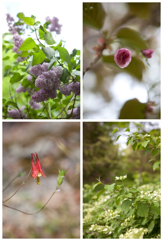 Clockwise from top left: lilac, kwanzan cherry tree, viburnum mariesii doublefile, wild columbine