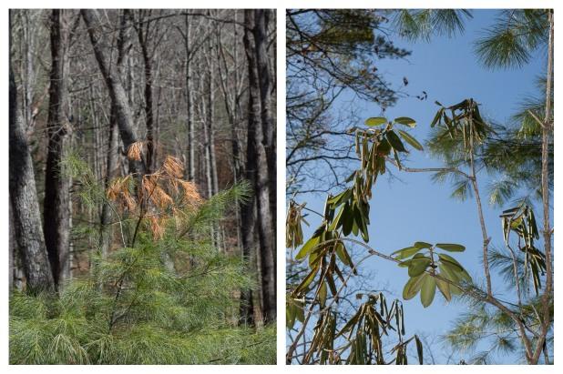 White Pine, Rhododendron, 4/12/15, Stone Ridge, NY