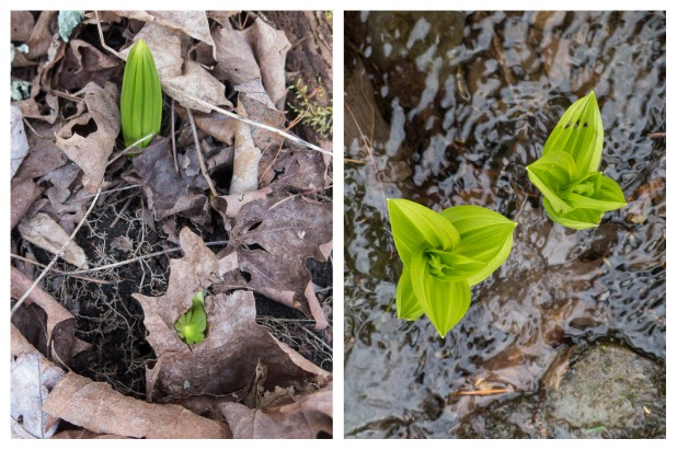 False hellebores, 4/19/15, Stone Ridge, NY