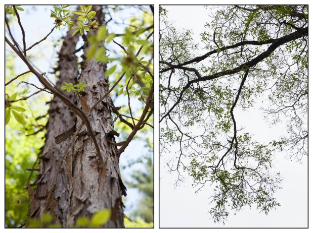 Shagbark Hickories, Stone Ridge, NY, 5/10/15 (left) and 5/31/15 (right)