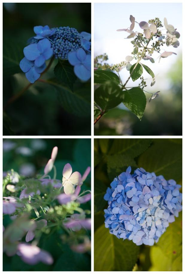 Hydrangeas, Stone Ridge, NY, 8/15