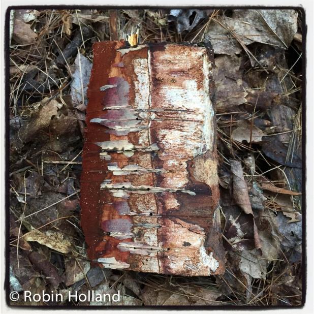 Birch, Stone Ridge, 9/20/15