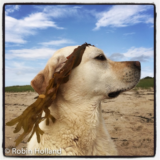Ryder (seaweed laurels), Fisher Beach, Truro, MA, 7/14/15