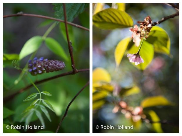 """Left to right: """"Fountain Wisteria, Stone Ridge, NY, 6/8/14"""" and """"Kwanzan Cherry Tree, Stone Ridge, NY, 5/11/14"""""""