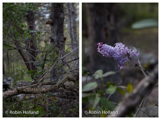 Lilac bush, Stone Ridge, 5/8/16