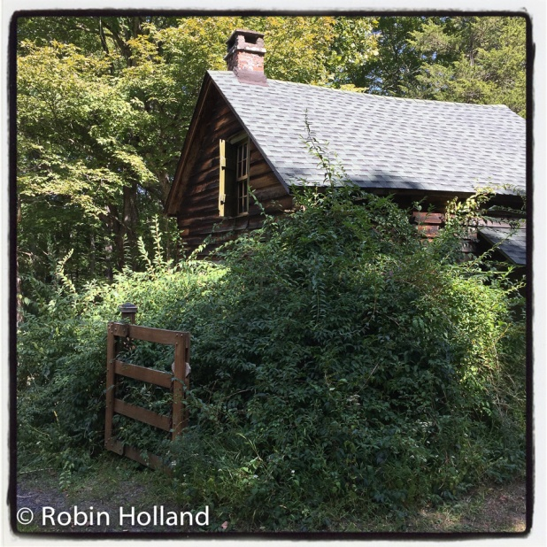 Forsythia, Stone Ridge, NY, 9/17/16